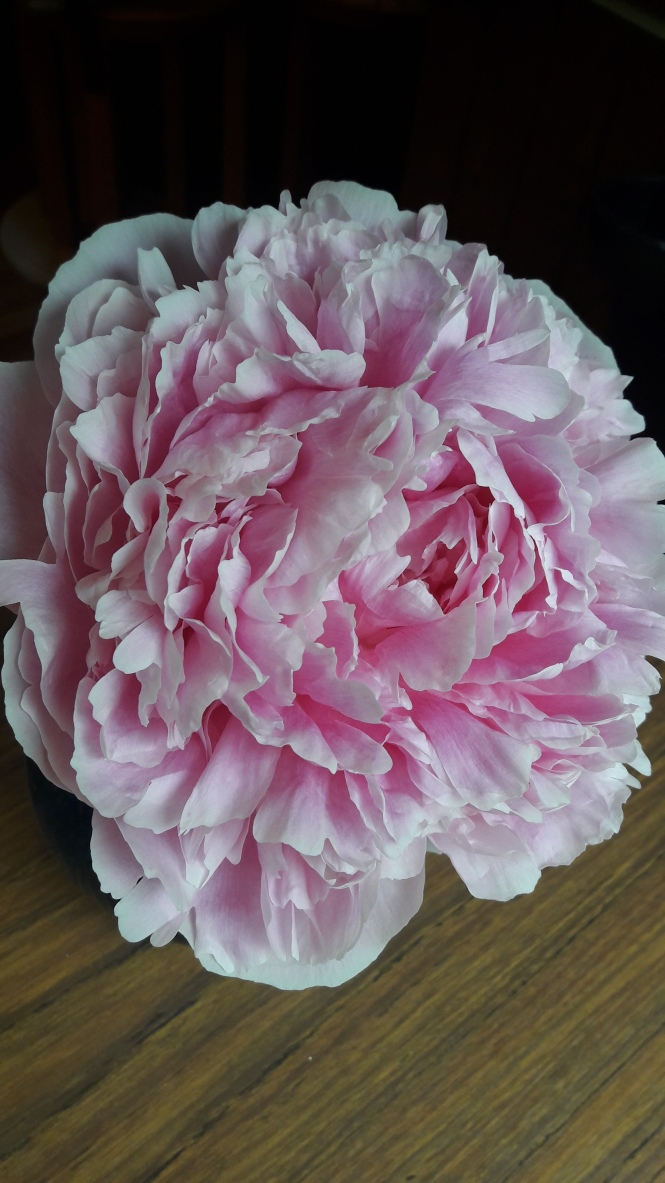 Peon, blomst